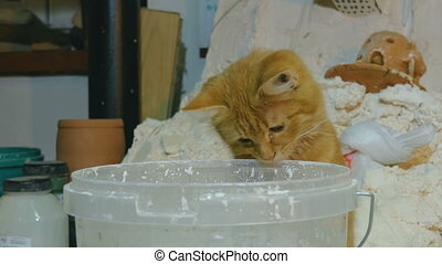 Kitten looks in bucket of paint - Orange kitten looks in...