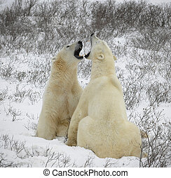 Who has more? - Two polar bears are measured in the size to...