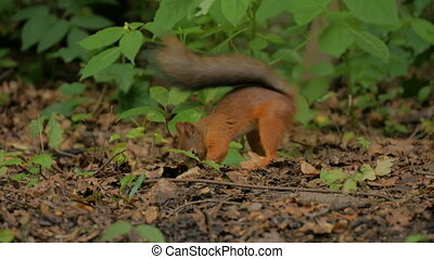 Cute red squirrel hiding nuts in the park