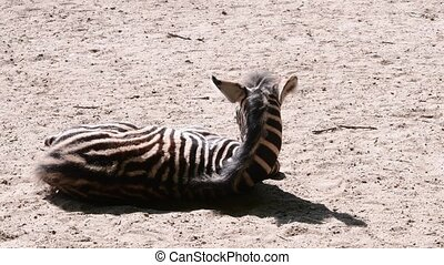 The Chapman's zebra Equus quagga chapmani is a subspecies of...