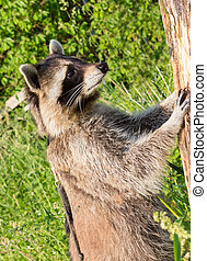 A nosier Raccoon standing upright at a tree. - A nosier...
