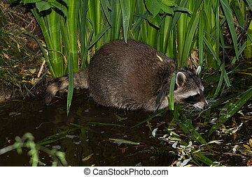 A Raccoon in the Water is looking for food. - A tame Raccoon...