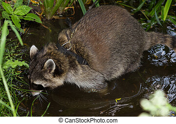 A leashed Raccoon sniffles in water. - A leashed Raccoon...