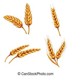 Set of vector illustrations of wheat spikelets, grains,...