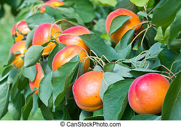 bite me - Some Apricots on a Tree, they are ready to pick
