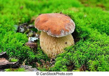 boletus edulis mushroom in the forest