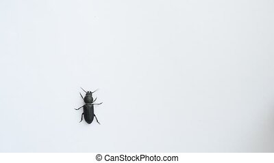 Black beetle crawls on white background - Black beetle...