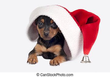 Pincher, perrito, santa, sombrero