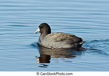 American Coot (Fulica americana) on blue water.