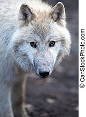 Close up view of a male wolf (Canis lupus) - Close up view...