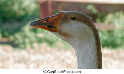 Goose head against grass background.