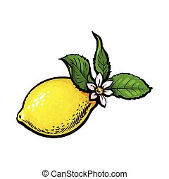 vector sketch ripe lemon with leaves and flower