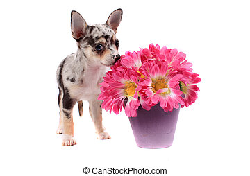 Chihuahua smelling the flowers - Cute little black spotted...