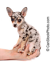 Hand holding spotted chihuahua - Cute little chihuahua with...