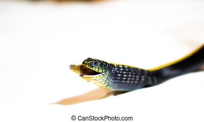 Black snake with yellow strip eating fish - Black snake with...
