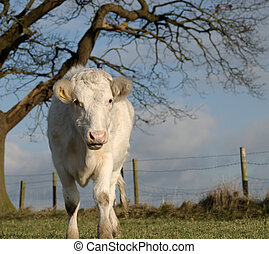 A Young White Heifer