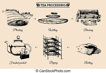 Vector infographics with illustrations of tea processing....