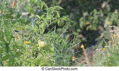 Unripe fruit of tomatoes in the garden shakes a slight...