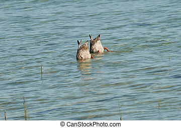 two duck diving  at lake