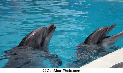 two dolphins closeup - two dolphins head into the blue water...