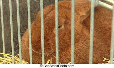 Breed of Burgundy rabbit in a cage at the exhibition in the Czech Republic