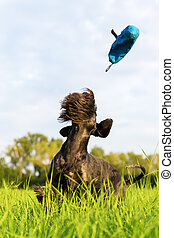 standard schnauzer jumps for a thrown treat bag - picture of...