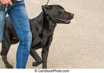 Big dog close-up - The dog on a leash runs next to the...