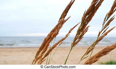 Sea plants wind nature - Sea idyll. Wind rustles the dry...