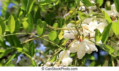 Bee and flowers of acacia - The bee collects pollen and...