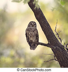 Barred Owl perching on a branch