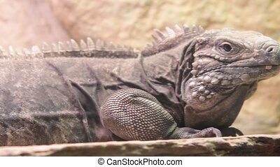The Cuban rock iguana Cyclura nubila , also known as the...