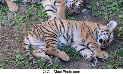The Siberian tiger Panthera tigris altaica , also called...