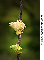 green tree frog family, father and son standing on twig (...
