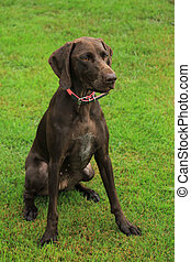 German Shorthaired Pointer female, two years old