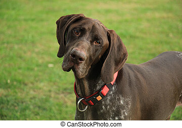 German Shorthaired Pointer male, almost 3 years old