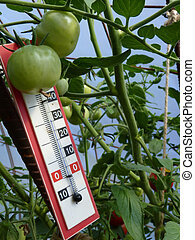 Thermometer Placed in Plastic Greenhouse with Tomato Plants