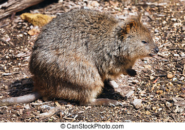 Quokka - The Quokka is a small marsupial and looks like a...
