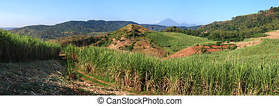 landscape of sugar cane field - panoramic scenery of sugar...