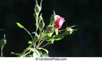 Red rose in the garden. Red roses in the park