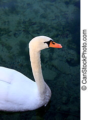 Close portrait of young swan. Pond on a background. - Close...
