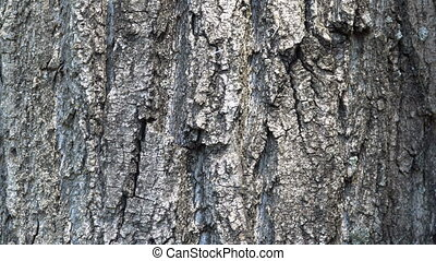 Texture of bark. Tree or poplar in park. Background of tree...