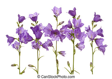 Bluebell - Lilac bell flowers isolated on white background