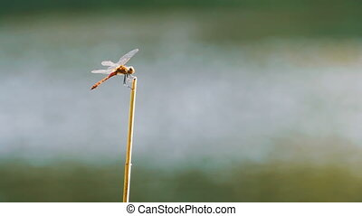Dragonfly on a Branch. Close-up. River on the background....