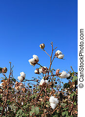 Autumn Cotton Time - Cotton field ready for harvesting in...