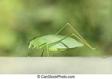 Katydid (Tettigoniidae) - Close-up of a Katydid...
