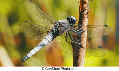 Dragonfly on a Branch on Green Plants Background - Dragonfly...