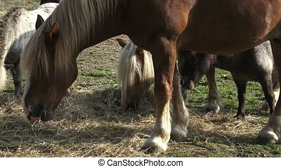 Group of horses eating hay in an arid field on sunny summer...