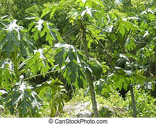 Papaya tree fruits growing in tropical jungle Central...