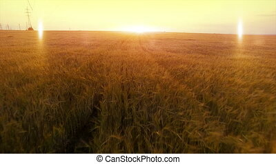 AERIAL long warm evening sunset fly over wheat rye oats...
