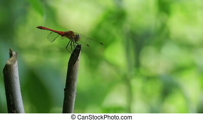 Red Dragonfly on a Branch. Close-up. Green plants on the...